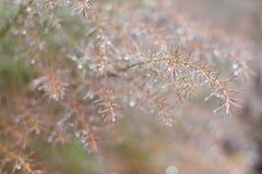 Neuer Hintergrund des Frühlinges mit taunassen Niederlassungen des Nadelbaumbaums Lizenzfreie Stockbilder