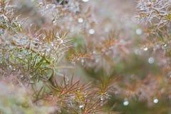 Neuer Hintergrund des Frühlinges mit taunassen Niederlassungen des Nadelbaumbaums Stockfotografie