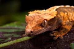 Neuer kaledonischer mit Haube Gecko stockfotos