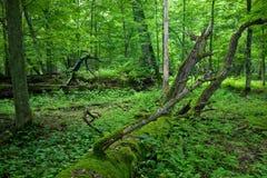 Neuer laubwechselnder Standplatz des Bialowieza Waldes Stockbilder