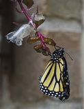 Neuer Monarch lizenzfreie stockfotografie