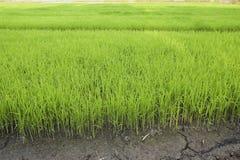 Neuer Reis Lizenzfreie Stockfotografie