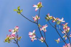 Neuer rosa Hartriegel blüht gegen einen klaren blauen Himmel Stockfotografie