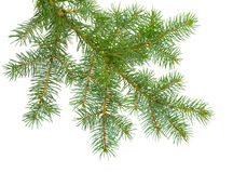 Neuer Tannenzweig auf einem weißen Hintergrund Koniferenbaum - ein Fest lizenzfreie stockfotos