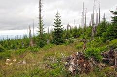 Neuer Wald in den riesigen Bergen ÅšnieÅ-¼ Ka, Polen Stockbilder