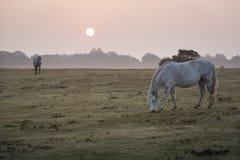 Neuer Waldnebelhafte Szene mit den weißen Ponys, die an der Dämmerung einziehen Lizenzfreie Stockbilder