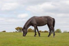 Neuer Waldwildes Pony, das auf dem Heidemoor weiden lässt Stockfotografie