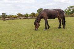 Neuer Waldwildes Pony, das auf Heide graving ist Lizenzfreie Stockfotos