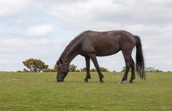 Neuer weiden lassender Forest Wild Pony Lizenzfreies Stockfoto