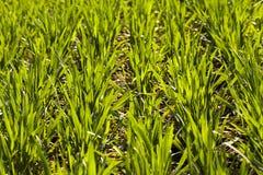 Neuer Weizen Stockfoto