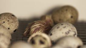 Neues ausgebrütetes kleines Wachtelküken geht auf Metallkäfig an Bauernhof incubtor stock video