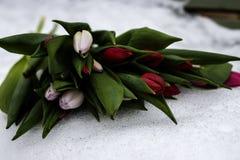 Neues Bündel rote helle Tulpen auf weißem Schnee Lizenzfreies Stockfoto
