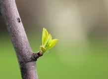 Neues Blatt auf einem Baum im Frühjahr Stockfoto