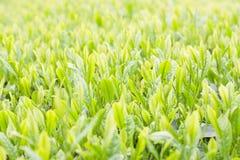Neues Blatt des grünen Tees Stockbilder