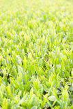 Neues Blatt des grünen Tees Stockfoto