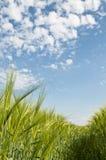 Neues Gerstenfeld der Landwirtschaft Stockbilder