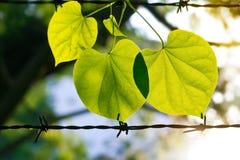 Neues Grün des Sommers verlässt auf dem Stacheldraht im Sonnenscheinnaturhintergrund Lizenzfreies Stockbild