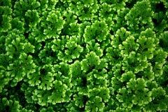 Neues Grün lässt Beschaffenheit Stockfotografie