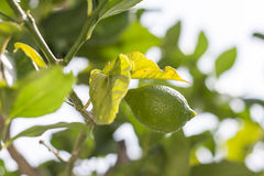 Neues Grün verlässt auf Niederlassung mit Zitronennahaufnahme Lizenzfreies Stockfoto