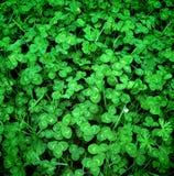 Neues grünes Design des Klees im Frühjahr Stockfoto