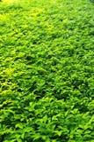 Neues grünes Feld Lizenzfreie Stockfotografie