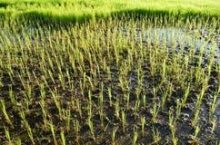 neues grünes junges Weizenfeld im Frühjahr stockbild
