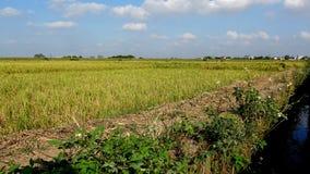 Neues grünes Reisfeld erwartet Ernte stockfoto