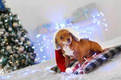 Neues Jahr Verzierter Raumhund in Sankt-Hut, der auf dem Kissen schaut beiseite starken Nahaufnahme unscharfen Hintergrund liegt stockbild