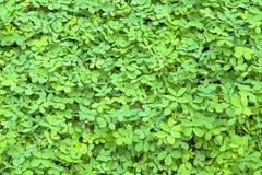 Neues kleines Grün lässt Hintergrund Stockfoto