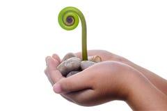 Neues Leben-u. Geburts-Konzept - junger Fern Leaf, der aus einer Hand heraus keimt. Stockfotografie