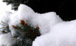 Neues Pinecone-Wachstum unter frischem Schnee auf Kiefern-Ast stockfoto