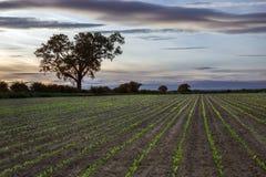 Neues Wachstum - Ackerland - Landwirtschaft Stockfotos