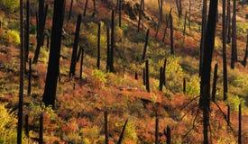 Neues Wachstum fängt nach Forest Fire Burnt Bark Charred-Bäumen an Stockbild