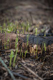 Neues Wachstum im Wald nach Feuer lizenzfreies stockfoto