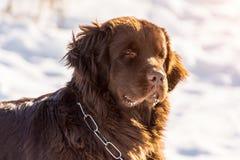 Neufundland brünieren den Haupthund, der herum am sonnigen Tag des Winters schaut stockbild