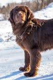 Neufundland brünieren den Hund, der herum am sonnigen Tag des Winters schaut stockbild