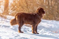 Neufundland brünieren den Hundestand, der herum am sonnigen Tag des Winters schaut stockfotos