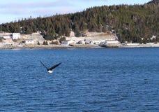 Neufundland-Hafen-Hafen-Weißkopfseeadler lizenzfreie stockbilder