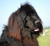 Neufundland-Hund stockfoto