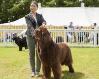 Neufundland-Hund, der an der Staffordshire-Grafschafts-Show geurteilt wird Stockfoto