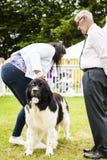 Neufundland-Hund, der an der Staffordshire-Grafschafts-Show geurteilt wird Stockbild