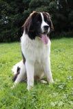 Neufundland-Hundeporträt auf grünem Gras lizenzfreie stockfotos