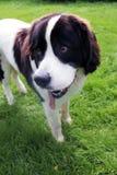 Neufundland-Hundeporträt, das auf Gras steht lizenzfreie stockfotografie