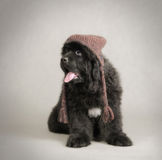 Neufundland-Hundewelpe Lizenzfreie Stockfotos