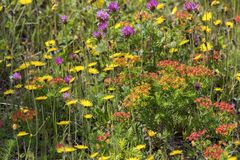 Neufundland-Sommer Wildflowers in der Wiese Stockfotografie