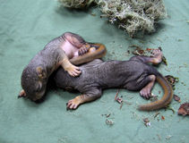 Neugeborene Babyeichhörnchen Lizenzfreies Stockbild