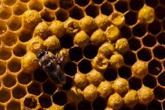 Neugeborene Biene auf Bienenwabe stockfotografie