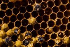 Neugeborene Biene auf Bienenwabe stockfotos