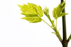 Neugeborene Blätter stockfoto