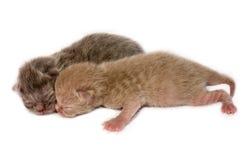 Neugeborene britische shorthair Kätzchen Stockbild